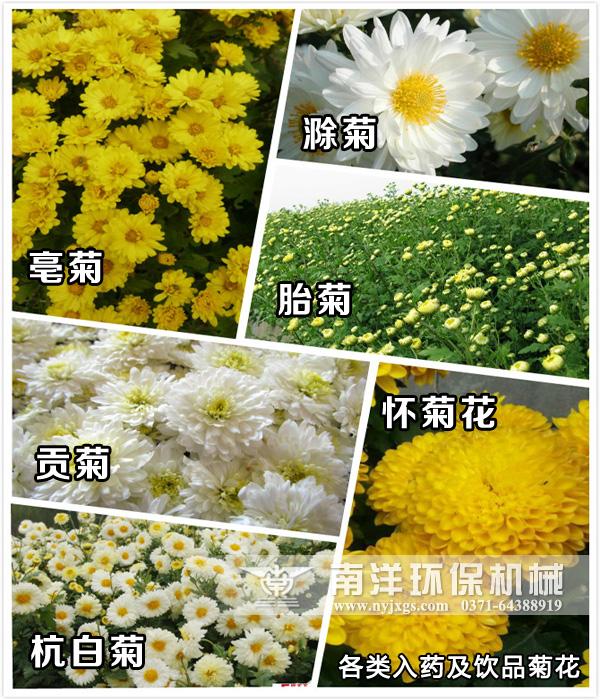 菊花的价值